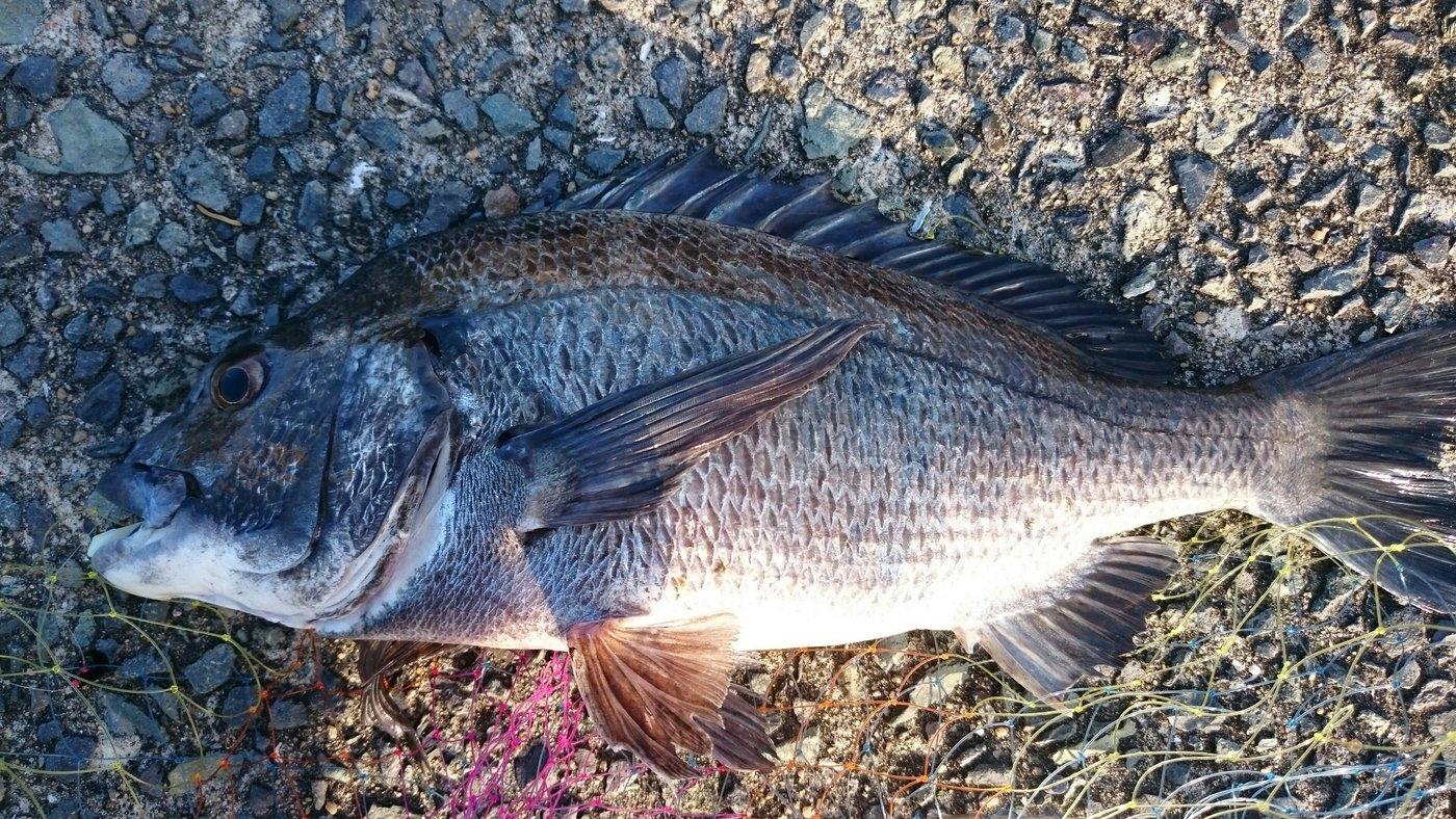 マロンさんの投稿画像,写っている魚はクロダイ