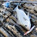 アニーさんの鹿児島県南さつま市での釣果写真