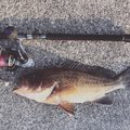 まいありーさんの鹿児島県いちき串木野市での釣果写真