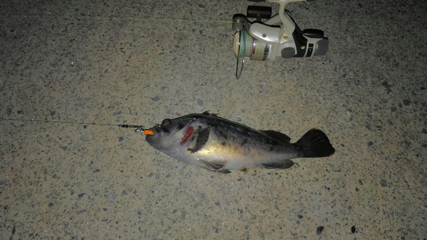 戸徒路さんの投稿画像,写っている魚はクロソイ