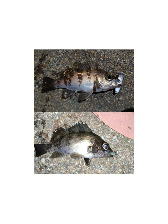 Ryoichiさんの投稿画像,写っている魚はメバル