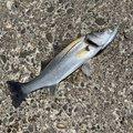 じゅっちさんの秋田県潟上市での釣果写真
