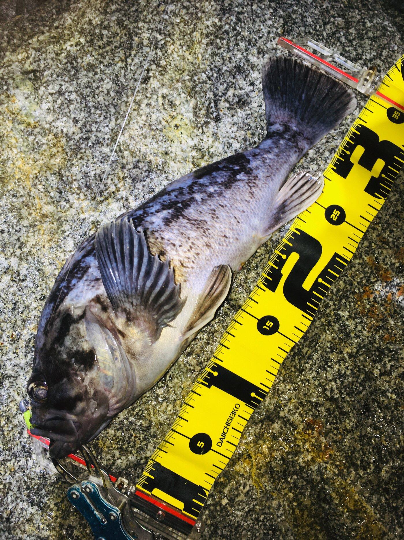 へたっぴ三ちゃんさんの投稿画像,写っている魚はクロソイ