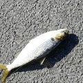 nobuさんの兵庫県神戸市でのマサバの釣果写真