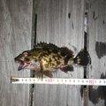 いちたかさんの愛知県碧南市でのカサゴの釣果写真