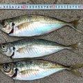 古藤さんの福岡県糸島市での釣果写真