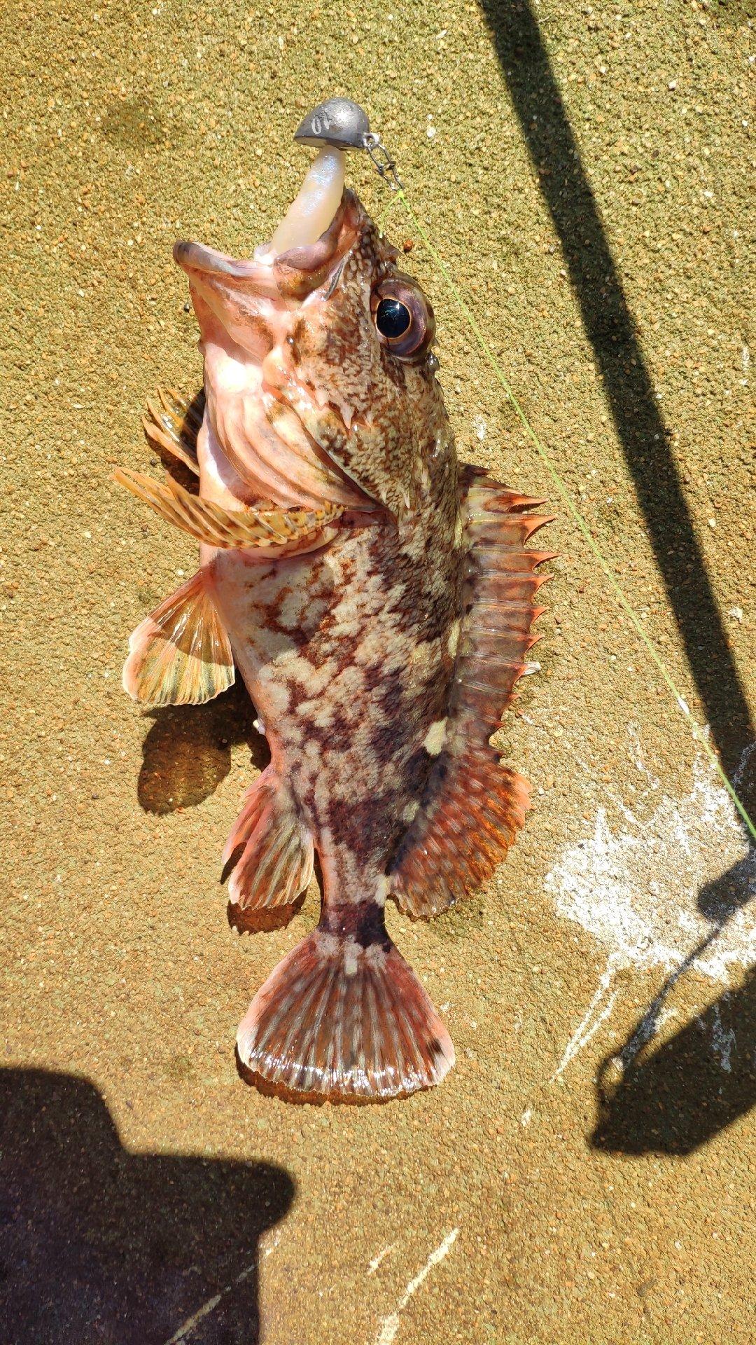Ryoichiさんの投稿画像,写っている魚はカサゴ