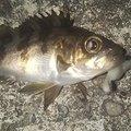 光さんの兵庫県でのメバルの釣果写真