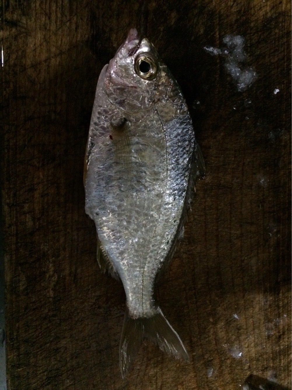 シーバスハンターさんの投稿画像,写っている魚はウミタナゴ