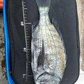 チュンチュン丸さんの千葉県安房郡でのクロダイの釣果写真