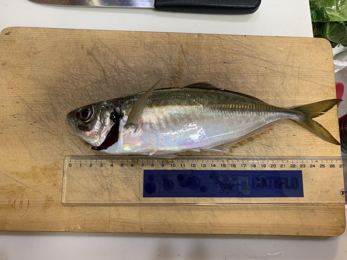 よっちゃんさんの投稿画像,写っている魚はアジ