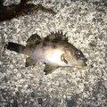 いも2018さんの徳島県鳴門市での釣果写真