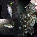 アオタカさんの三重県四日市市でのカサゴの釣果写真