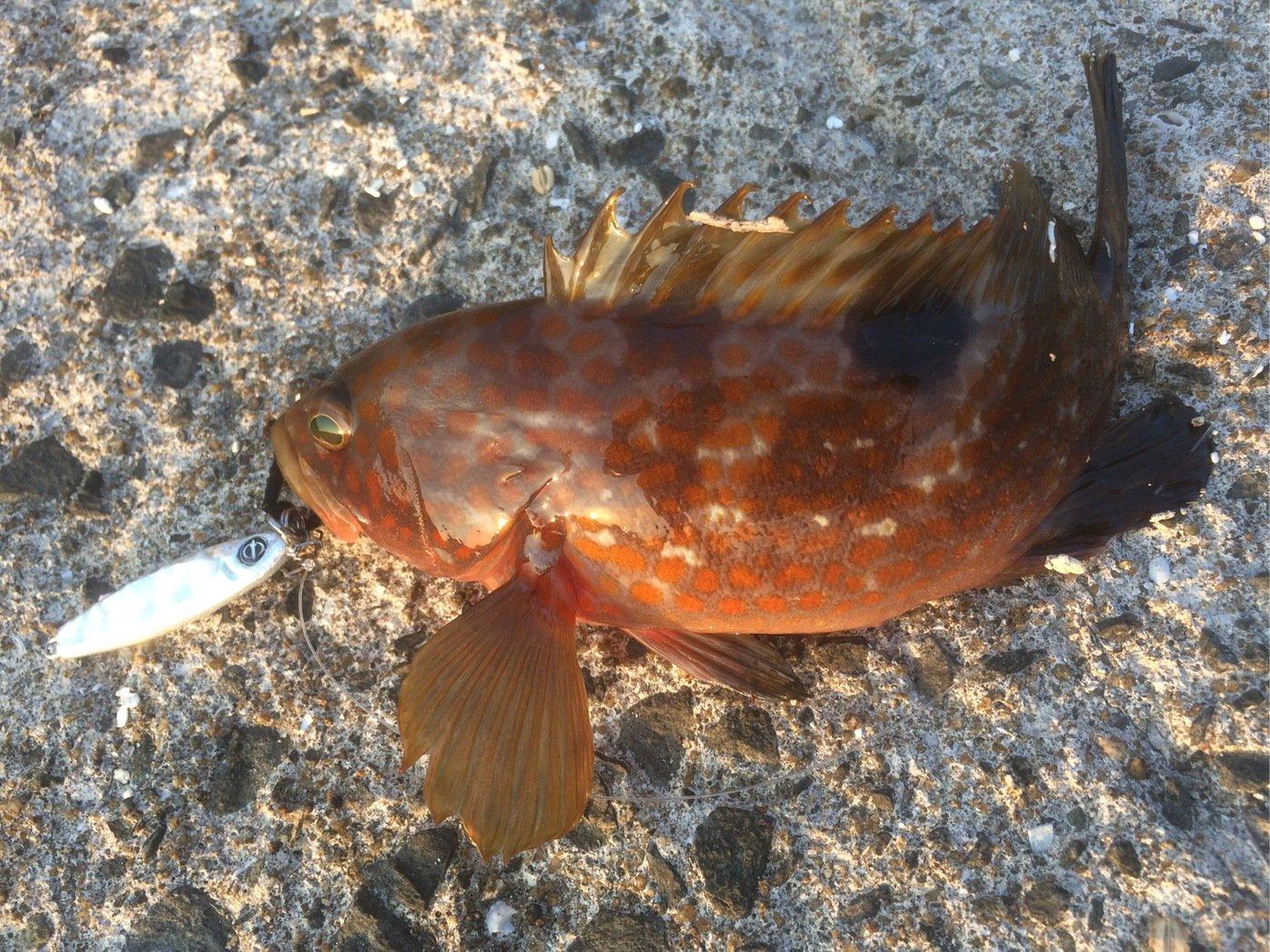 ヤマショウさんの投稿画像,写っている魚はキジハタ
