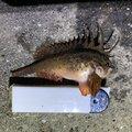 はぐれメバルさんの徳島県鳴門市での釣果写真
