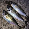 アオリイカオ🦑さんの石川県鳳珠郡でのアジの釣果写真