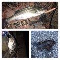 じーじさんの千葉県袖ケ浦市でのスズキの釣果写真