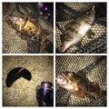 ぎーちゃんさんの兵庫県でのメバルの釣果写真