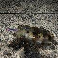 すこ@釣りさんの長崎県平戸市でのアオリイカの釣果写真