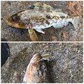 ミッツさんのアイナメの釣果写真