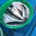 jinyaさんの茨城県日立市での釣果写真