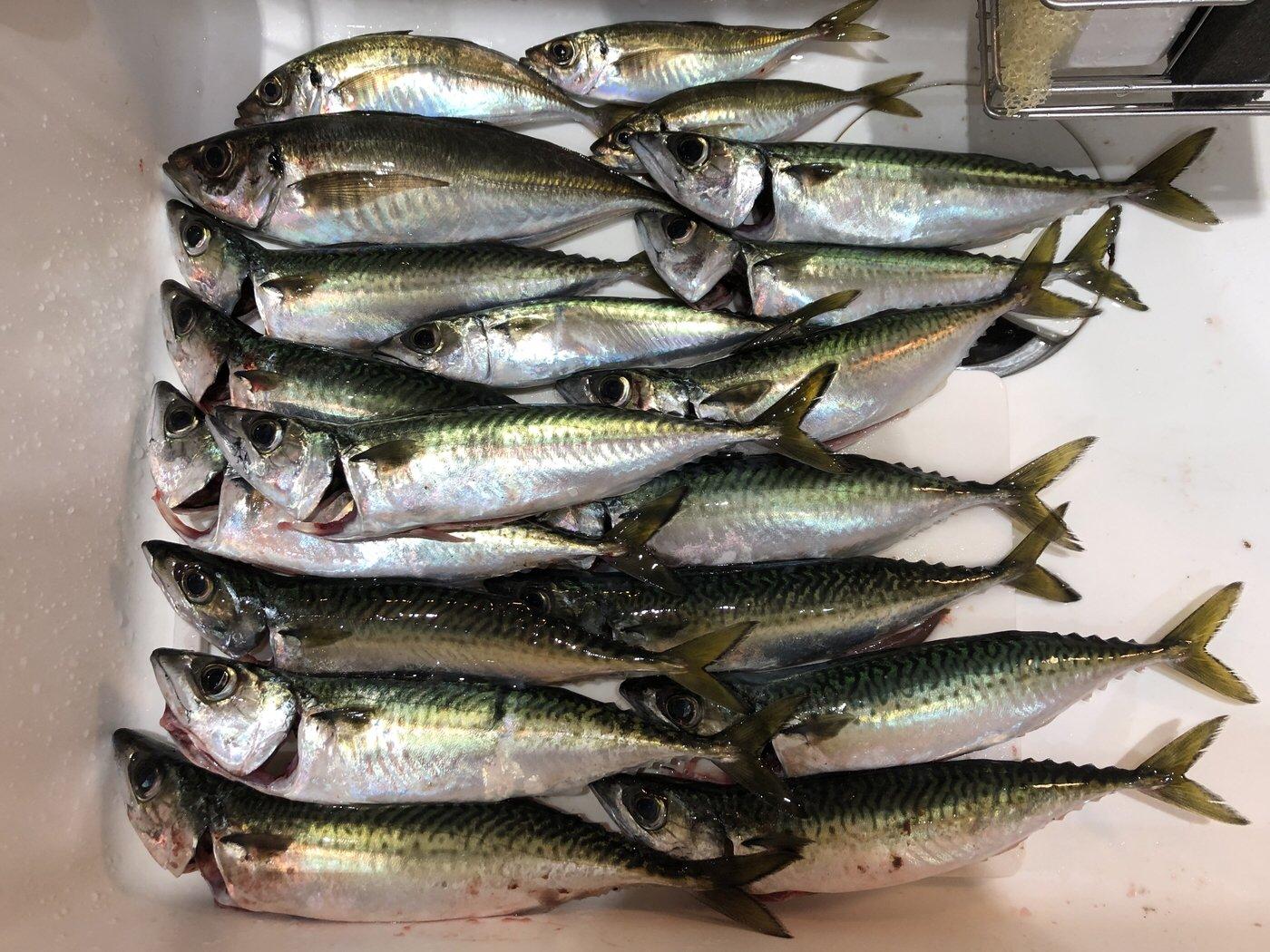 kiiysd13さんの投稿画像,写っている魚はマサバ,アジ