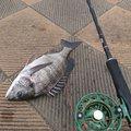 shingoriさんのクロダイの釣果写真
