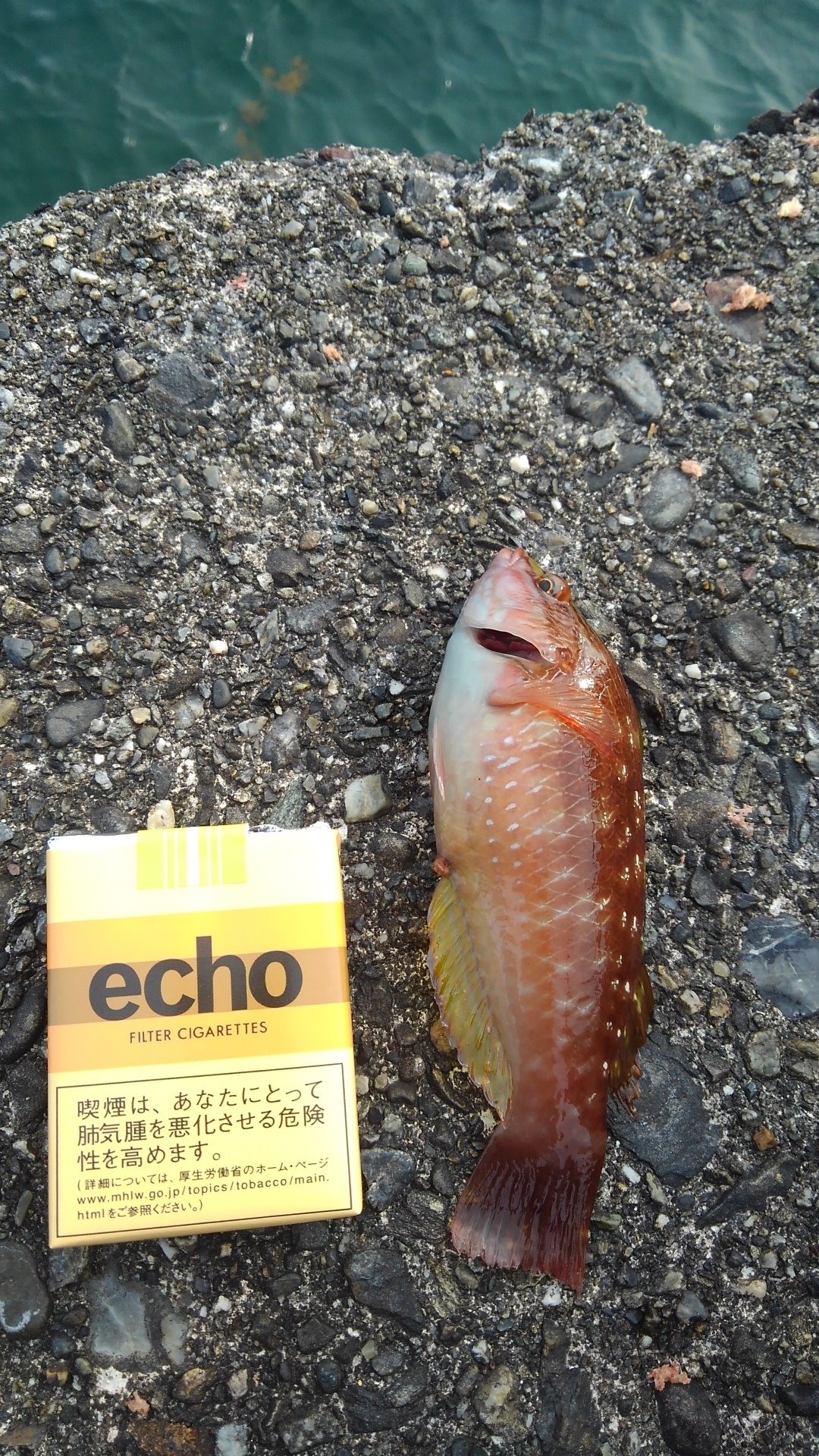 有頂天一号さんの投稿画像,写っている魚はアカササノハベラ