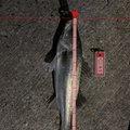 つりぴょんさんの秋田県北秋田郡での釣果写真