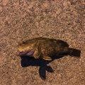 よしさんの神奈川県小田原市でのカサゴの釣果写真
