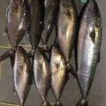 サバイバルさんの鹿児島県枕崎市での釣果写真