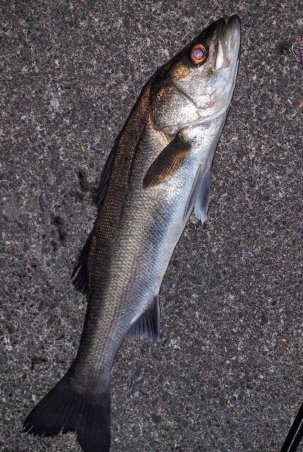 (´・Д・)」さんの投稿画像,写っている魚はスズキ