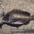 ケンさんのクロダイの釣果写真