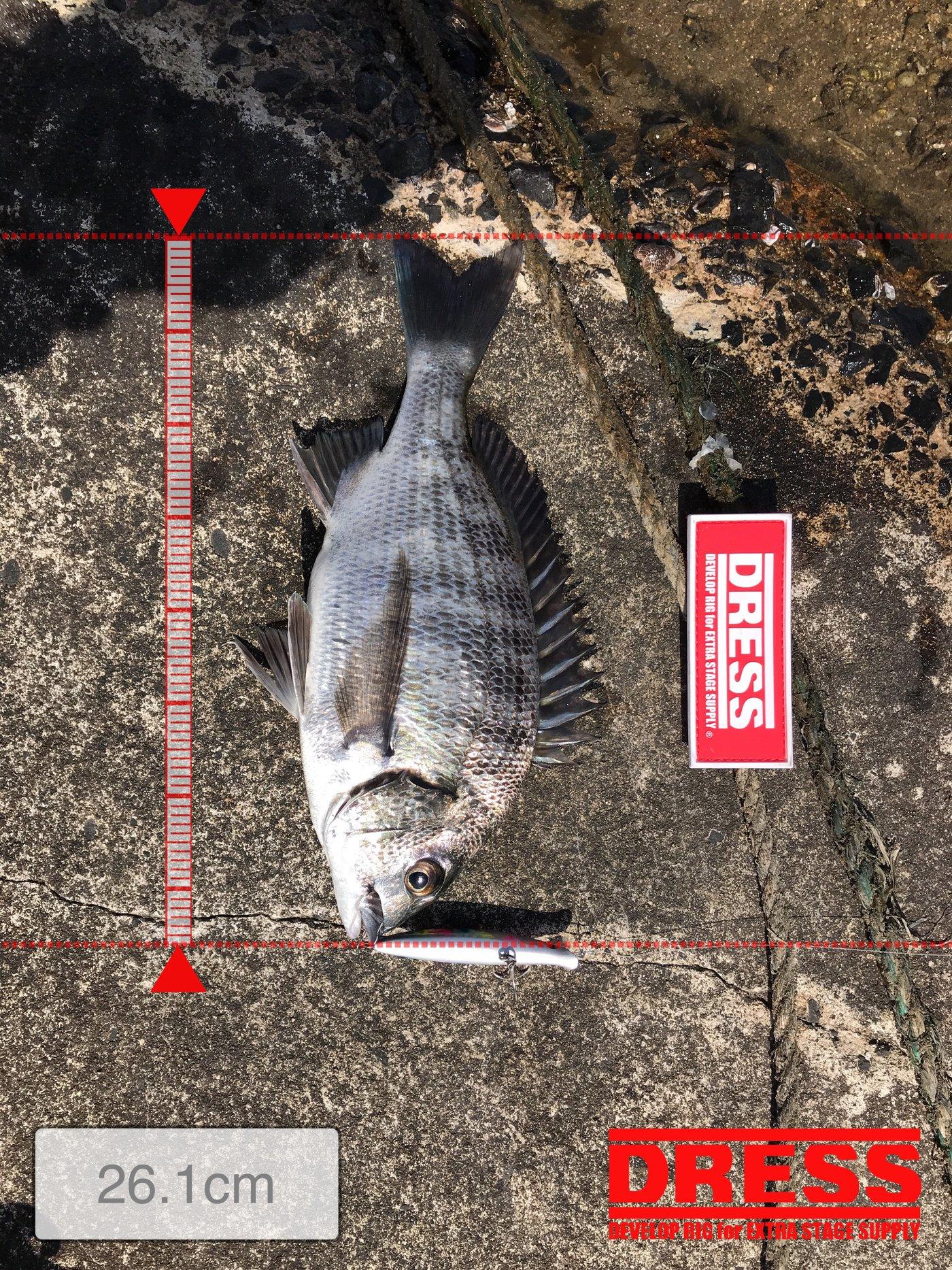 ドカさんの投稿画像,写っている魚はクロダイ