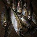 ノリさんの兵庫県豊岡市での釣果写真