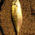 ケツがブリトニーさんの大分県佐伯市での釣果写真