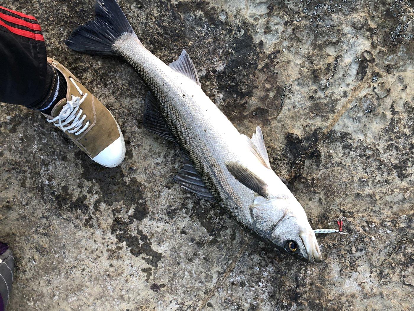 つりもんさんの投稿画像,写っている魚はスズキ