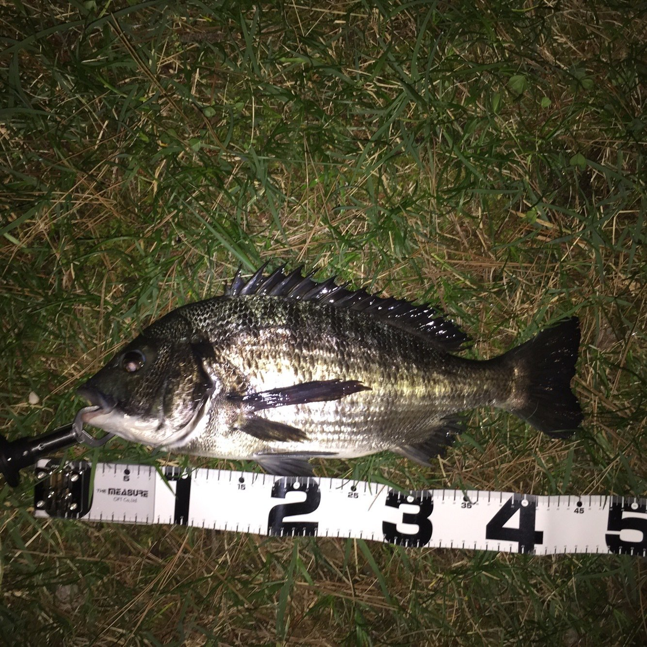 dさんの投稿画像,写っている魚はクロダイ