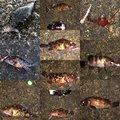 SHOさんの神奈川県でのメバルの釣果写真