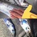 かいさんの神奈川県でのタチウオの釣果写真