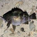 うんすいさんの兵庫県でのメバルの釣果写真