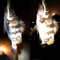 DJ  さんの宮城県本吉郡での釣果写真