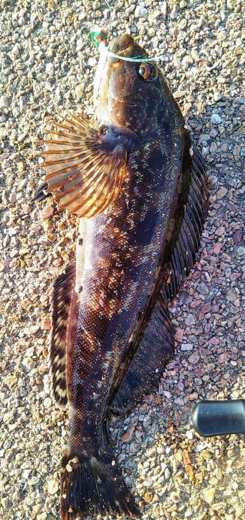 snufkin49さんの投稿画像,写っている魚はアイナメ