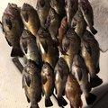 うなぎ一号さんの兵庫県でのメバルの釣果写真