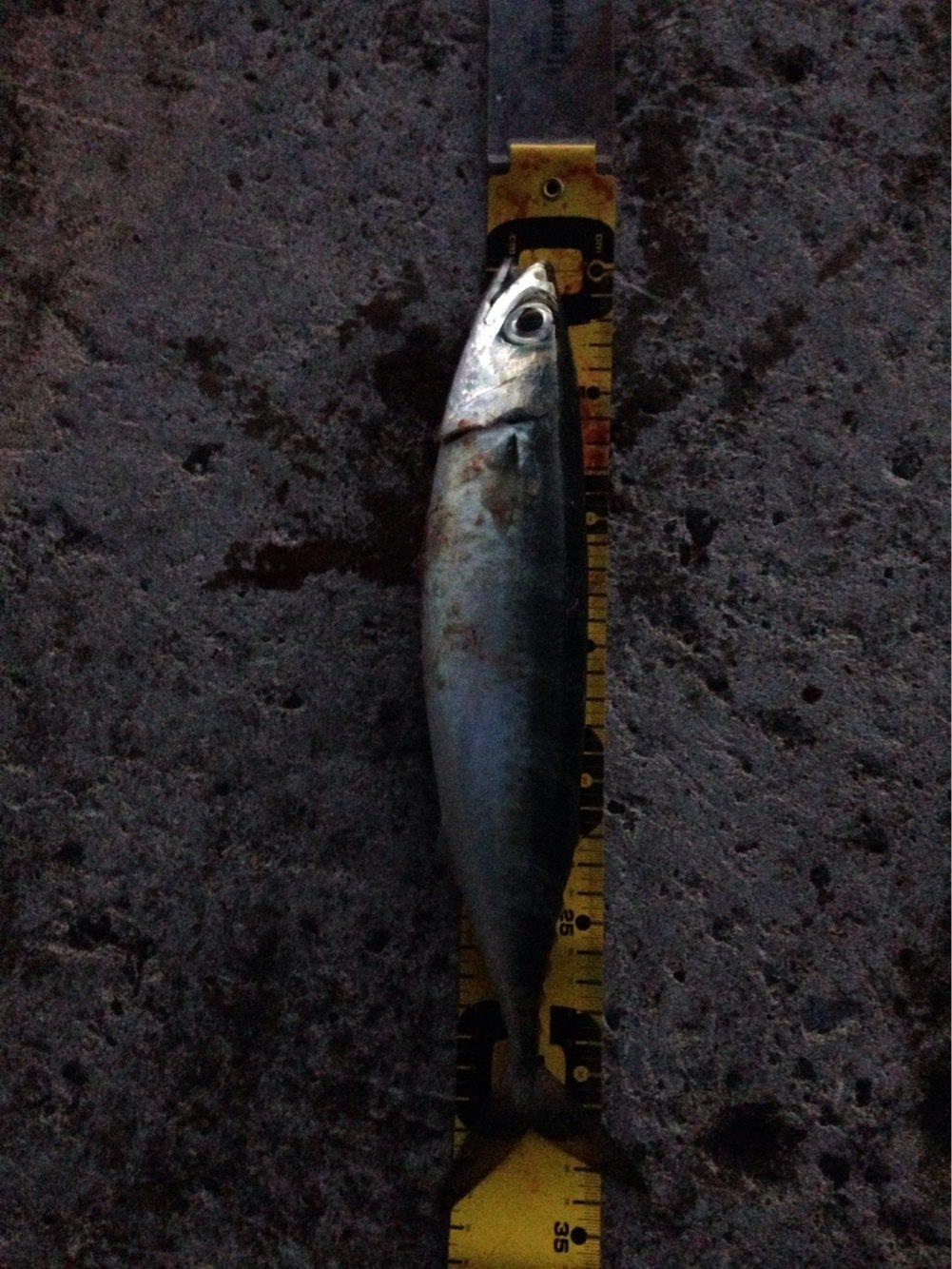 ヒルネさんの投稿画像,写っている魚はゴマサバ