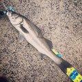 竜馬a.k.aGAPPYさんの鹿児島県出水市での釣果写真