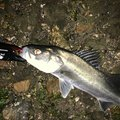 ケンさんの静岡県湖西市での釣果写真