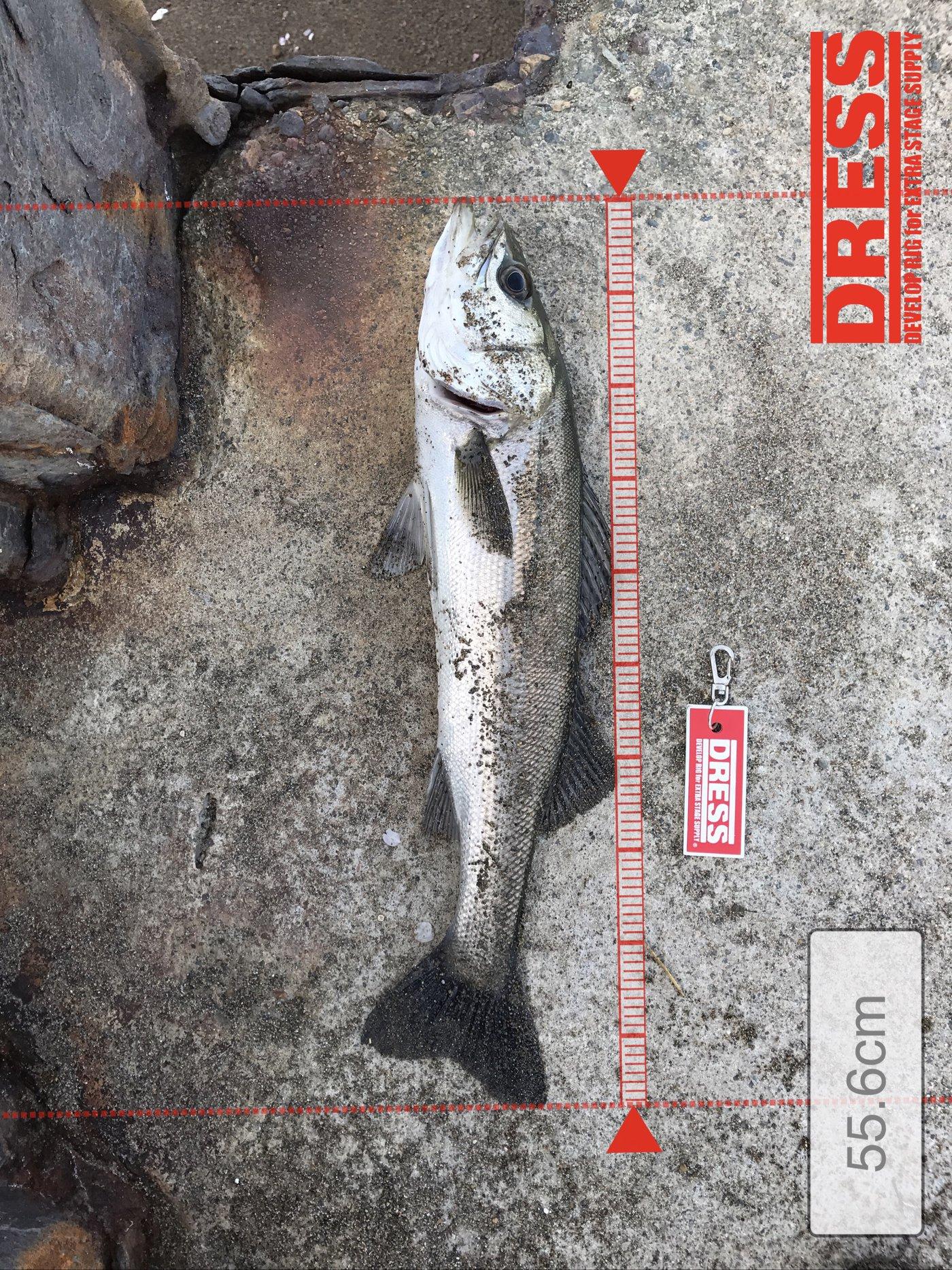 ガンナーズさんの投稿画像,写っている魚はスズキ