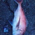 しもしさんの静岡県賀茂郡での釣果写真