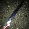 わっさんさんの神奈川県小田原市でのタチウオの釣果写真